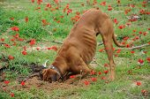 foto of character traits  - Digging dog thrust the head into a hole - JPG