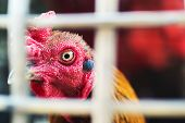 picture of fighting-rooster  - An Beautiful fighting gamecock in Thailand  - JPG