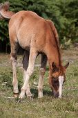 stock photo of foal  - photo of a grazing cute chestnut foal