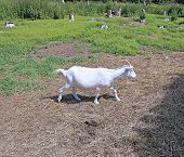 image of goat horns  - White goat with long horns on the farm - JPG