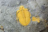 image of paleozoic  - trilobite fossil as very nice natural geology background - JPG