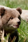 stock photo of grizzly bear  - Portrait of Grizzly bear cub  - JPG