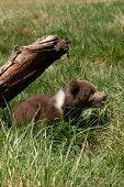 stock photo of grizzly bear  - Grizzly bear cub  - JPG