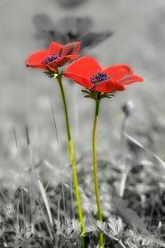 image of windflowers  - Beautiful wild red anemone coronaria  - JPG
