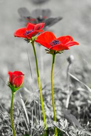 stock photo of windflowers  - Beautiful wild red anemone coronaria (windflower) flowers blooming in the Galilee Israel isolated on a black and white background for Valentine