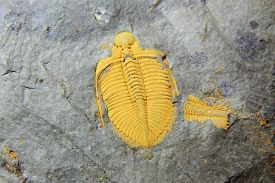 picture of paleozoic  - trilobite fossil as very nice natural geology background - JPG