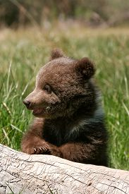 pic of bear-cub  - Grizzly bear cub (Ursus arctos) sitting on the log in green grass