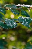 picture of rain-drop  - Rain drops are still on leaves after a showering - JPG