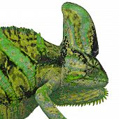 picture of chameleon  - exotic color chameleon or calyptratus isolated on white background - JPG