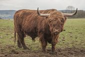 pic of highland-cattle  - It is image of unique highland cattle - JPG