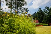 pic of cosmos flowers  - Cosmos yellow flowers with a backdrop of sky - JPG
