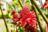 foto of torches  - Torch ginger flower in the garden of Thailand - JPG