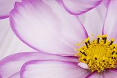 stock photo of cosmos flowers  - Studio Shot of Fuchsia and White Colored Cosmos Flowers Background - JPG