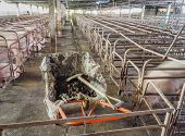 pic of pig-breeding  - long exposure image of indoor dirty pig farm with paddock  - JPG