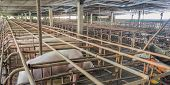 picture of pig-breeding  - long exposure image of indoor dirty pig farm with paddock  - JPG