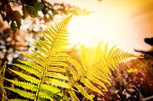 image of fern  - Nature background with fern leaves at sunset in forest - JPG
