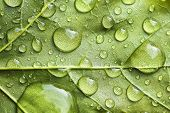 picture of raindrops  - Macro view of raindrops on a large vibrant green leaf shallow DOF - JPG