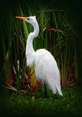 image of tall grass  - A great Egret was standing in some tall grass in a pond - JPG