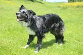 picture of collie  - Blue merle border collie smiling in the sun - JPG