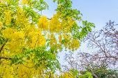 foto of vishu  - image of Golden Shower flower - JPG