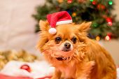 pic of long hair dachshund  - Long Haired Chihuahua at Christmas in front of tree with lights. ** Note: Visible grain at 100%, best at smaller sizes - JPG
