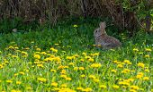 stock photo of wild-rabbit  - Wild rabbit or bunny sitting under the bushes in a field of blooming dandelions - JPG
