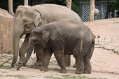 picture of calf  - Indian elephant  - JPG