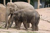 stock photo of calves  - Indian elephant  - JPG