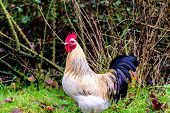 picture of wacky  - Close up portait of a fancy chicken on grass and dirt - JPG