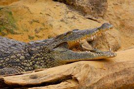 picture of crocodile  - Big Crocodile Resting In A Crocodiles Farm - JPG