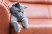 Young cute cat resting on leather sofa. The British Shorthair pedigreed kitten with blue gray fur poster