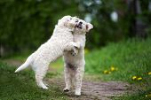 Two Golden Retriever Puppies Playing And Jumping Up poster