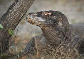 close up of Komodo dragon