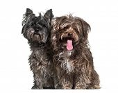 Mixed-breed dogs sitting together against white background poster