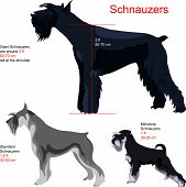 picture of schnauzer  - schnauzer breed - JPG