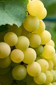 Green Grapes In Vine Yard On Green Background.white Grape On A Branch Of Green Vine In Vineyard Befo poster