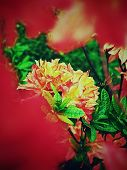 Orange Red Rhododendron Blossom, Shallow Dof, Focus On Front Blossom. Amazing Colors Of Flowering Or poster