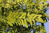 Spring Foliage In The Trees / Young Foliage In The Sun poster