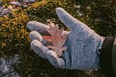 Oak Tree Leaf Hold In Hand In Green Moss Background. Close Up View Of Dry Oak Leaf In Sundown Light, poster
