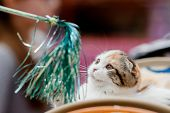 Lop-eared Scottish Cat Play In Tinsel Toy poster
