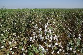stock photo of pima  - Cotton in the field - JPG