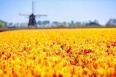 Tulip Fields And Windmill In Holland, Netherlands. Blooming Flower Fields With Red And Yellow Tulips poster
