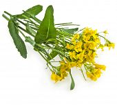 stock photo of cruciferous  - Flower of a rapeseed - JPG