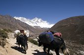 picture of sherpa  - yaks carrying tourist loads from tengboche to pheriche or dingboche - JPG