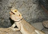 A Pogona, Commonly Known As The Bearded Dragon poster