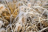 Frozen Pennisetum Alopecuroides, Fountaingrass During Cold Winter. Close Up Of Ormental Grass In Gar poster