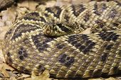 foto of western diamondback rattlesnake  - Diamondback rattle snake - JPG