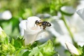 Bee Hovering While Collecting Pollen From White Flower. poster