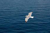 Bird Flies Over The Sea, Ocean. Bird In The Sky. Wild Bird Flying High. Travel Concept. Freedom Idea poster