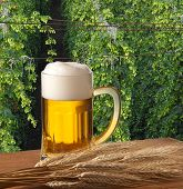 stock photo of bine  - beer and barley malt with hop field - JPG